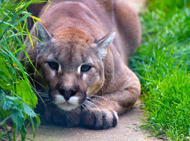 cougar-smaller size